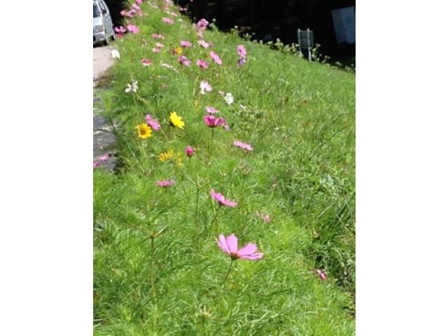「ひまわり」と「コスモス」が同時に綺麗に咲いてます♪