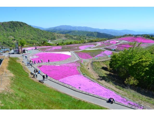 2019芝桜開花の流れ